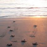 Las tortugas regresan cuando son adultas