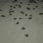 Las tortuguitas se liberan al caer el sol